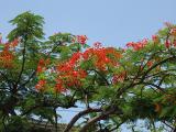 Phoenix tree