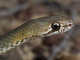 Marble-headed whipsnake, Demansia olivacea