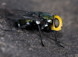 Diptera- flies and their allies