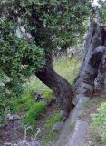Chêne Kermes de la Sierra de Guara
