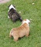 Angus x Roxi litter 3F 2M 09/11/2008