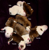 Angus x Nina pups  4F-3M 11/12/2008