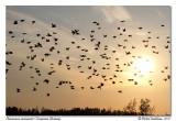 Étourneaux sansonnets  European Starlings