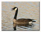 Bernache - Canada goose