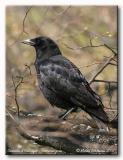 Corneille d'Amérique - American crow