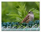 Bruant à couronne blanche - White crowned sparrow