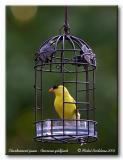 Chardonneret jaune  American goldfinch