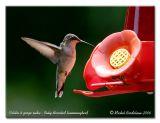 Colibri à gorge rubis - Ruby throated hummingbird