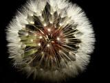 Wonders of the Dandelion
