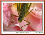 Grasshopper20DRose.jpg
