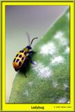 LadybugFramed.jpg
