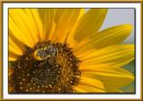 BeeOnSunflower.jpg
