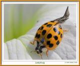Ladybug2_100Macro.jpg