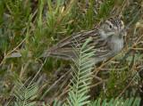 Timberline Sparrow