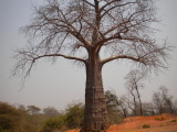 baobob tree.jpg