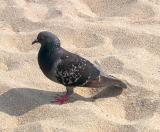 Richard's favorite bird, the pigeon - the preference of a city boy :-) (Coney Island, Brooklyn)