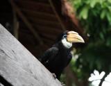Female Blyth's Hornbill