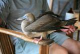 Booby Bird