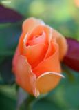0392- opening rose bud at kulcurna