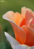 0415- rose at kulcurna