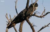 9825-redtail-female