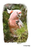 major-mitchells-pink-cockatoo