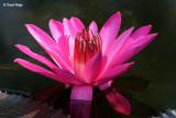 3732-pink-lilly.jpg