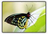 birdwing butterfly - male (melbourne zoo)