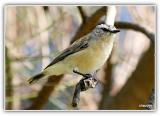 Yellow rumped thornbills