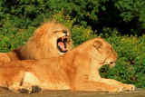 lion &  lioness.jpg