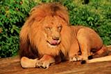 IMG_0007 lion.jpg