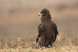 Greater Spotted Eagle Aquila clanga 3200