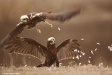 Marsh Harrier 3810