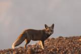 Fox 4187