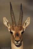 Gazella gazella 6210