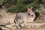 African Wild Ass 6125