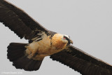 quebrantahuesos_bearded_vulture
