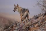 _48D3781fb Wolf