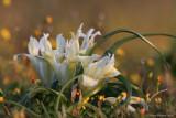 Iris palaestina