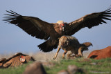 saving_the_vultures_in_israel