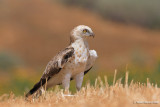 Short-toed Eagle 8227