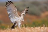 Short-toed Eagle 8229