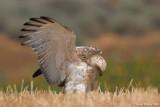 Short-toed Eagle 8235