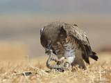 Short-toed Eagle 8919