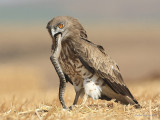 Short-toed Eagle 8899