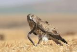 Short-toed Eagle 8897