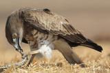 Short-toed Eagle 8888