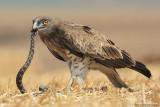 Short-toed Eagle 8884