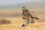 Short-toed Eagle 8870