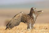 Short-toed Eagle 8855